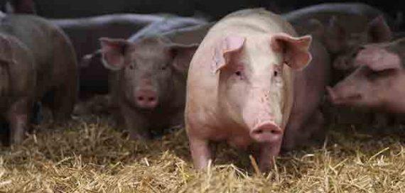 Porc fermier Label Rouge Fermiers d'Argoat